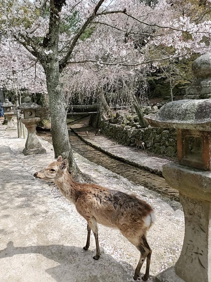 宮島の鹿と桜
