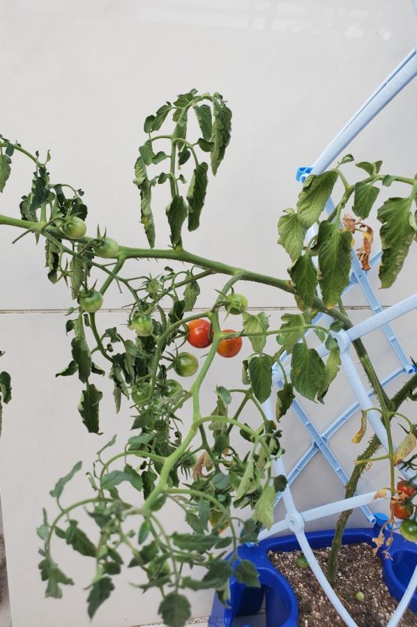 夏休みの宿題ミニトマト水やり